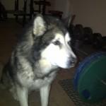 Pies Rocky pomaga mi w treningach ;)