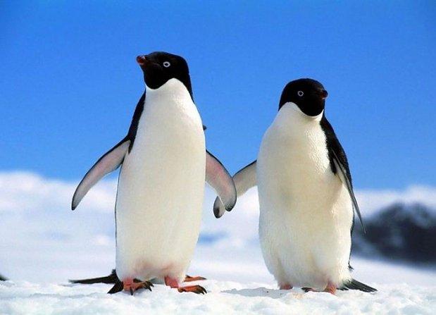 pingwiny-lacza-sie-w-pary-na-cale-zycie